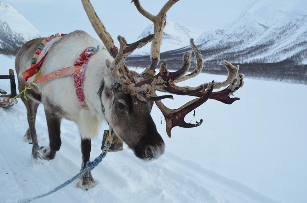 rendier in Noors Lapland